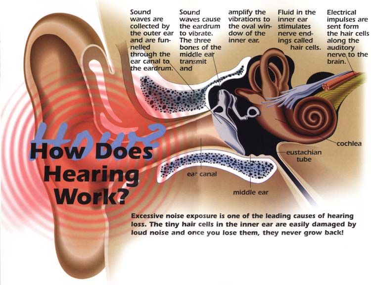 damaged hearing diagram the ear of a whale | updates from the paleontology lab